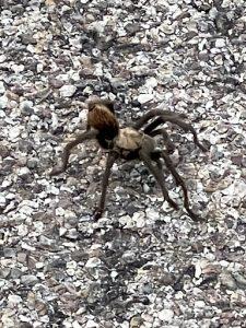 tarantula standing on top of gravel